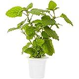 Click & Grow Lemon Balm Refill 3-Pack for Smart Herb Garden