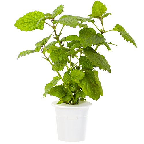 click-grow-lemon-balm-refill-3-pack-for-smart-herb-garden
