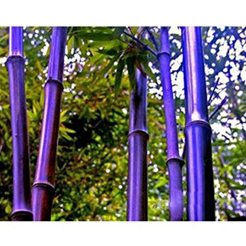 Rare Lila Bambus Samen Ziergarten Glücksbambus Garten Pflanzen Samen - 10pcs / lot Lila Bambus