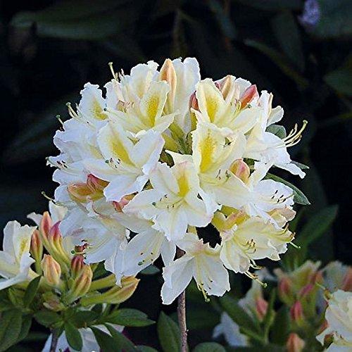 Azalee Daviesii 25-30cm – Rhododendron luteum – Alpenrose