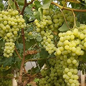 Vivai le georgiche uva da tavola bianca aromera - Vivai uva da tavola ...