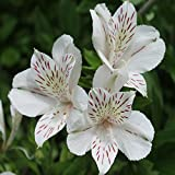 Blooming 24 colori differenti 120PCS peruviani semi del giglio di giardino domestiche di fiori in vaso bonsai alstroemeria