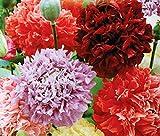 Shop Meeko Papavero da oppio - fiore doppio varietà mix; papavero broadseed - semi