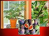 #4: SUPER Dwarf Fig tree 'Petite Negra' Ficus carica indoor outdoor 30 seeds