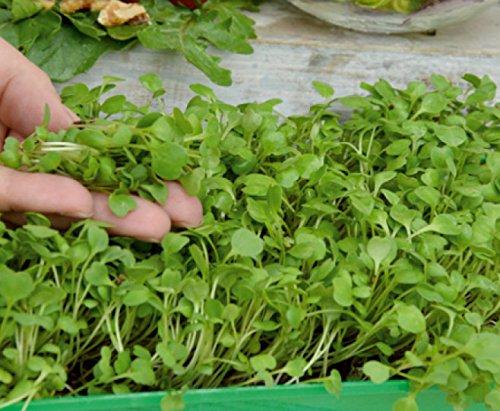 Microgreens - Roquette, roquette - jeunes feuilles au gout exceptionnel - 800 graines