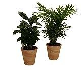 Pflanzenservice 890904 Kaffee Zimmerpalmen Indoor Duo mit Dekotopf
