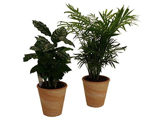 pflanzenservice-890904-kaffee-zimmerpalmen-indoor-duo-mit-dekotopf-terrakotta
