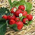 48 x Erdbeeren 'Senga ® Sengana' ® - Fragaria 'Senga ® Sengana' ® von Native Plants - Du und dein Garten
