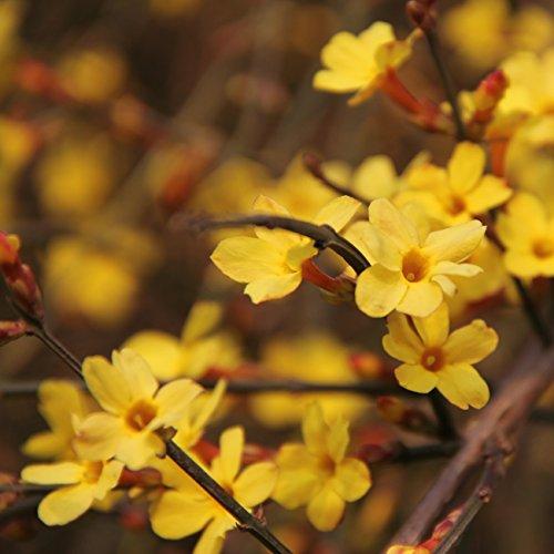 Dominik Blumen und Pflanzen, Winter-Jasmin, Jasminum nudiflorum, 2 Pflanzen, ca. 30 cm hoch, 1,3 Liter Container, winterhart, blühende Kletterpflanze, winterhart, plus...