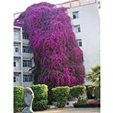 AGROBITS 10 Samen/pack Förderungen! Bunte Bougainvillea spectabilis Willd Samen Bonsai Pflanze Blumensamen Stauden Bougainvillea Samen: A4