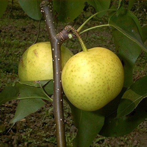 Birnenbaum, Nashi-Birne Hakko, Pyrus Pyrifolia, Obstbaum winterhart, alte Sorte gelb, im Topf, 120 - 150 -