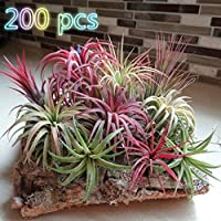 pittospwer 200Pcs Rare Tillandsia Seeds Ornamentale Giardino Cortile Ufficio Bonsai Decor