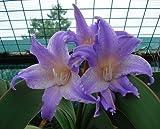 bulbi Amaryllis veri, Hippeastrum lampadine lampadine bonsai fiore Amarilis Rizomas bulbos Barbados Lily bonsai giardino Planta -2 lampadina 14