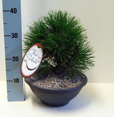 Kompakte Kugel-Bergkiefer Pinus 'Varella' 20-25 cm 3,5 l Schale anthrazit