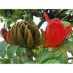 Afrikanischer Tulpenbaum, Spathodea cmpanulata, prächig, selten 30 Samen