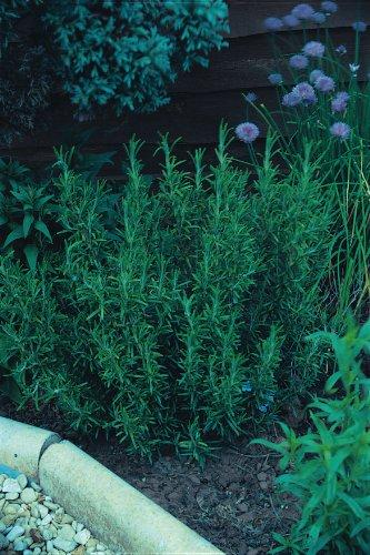 JustSeed Rosmarin/Rosmarinus officinalis, immergrün, Kraut, große Packung, 600Samen