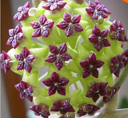 Vente chaude 2016 20 Couleurs rares graines de hoya Graines de fleurs 50pc/paquet Bonsai Graines Livraison gratuite Maison et jardin 4