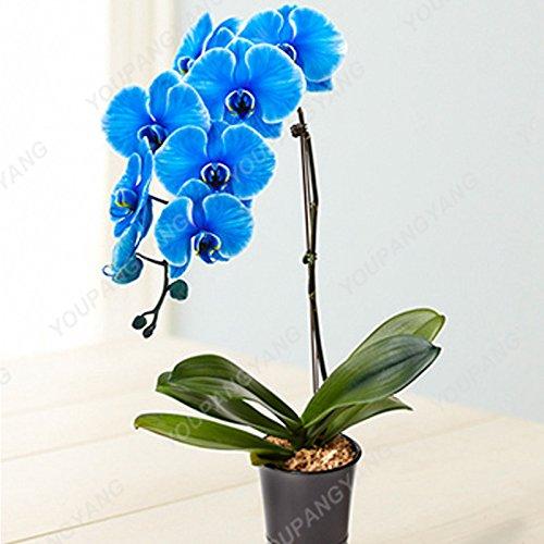 100 PC/bag Maiglöckchen Blumen-Samen-Bell-Orchid Seed reiches Aroma Bonsai Blume Rhizome Indoor Pflanze Look Like Love Heart Deep Blue