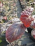 Fagus sylvatica Purpurea - Blutbuche Purpurea - Purpurbuche