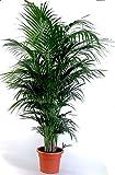 Die schönste Zimmerpalme der Welt ! Howea Forsteriana 'Kentia Palme' Anspruchslos von jedermann zu pflegen 1 Pflanze 100-110 cm.