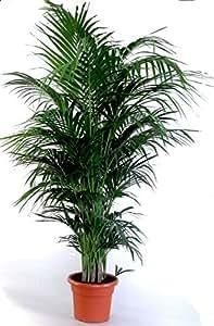die sch nste zimmerpalme der welt howea forsteriana kentia palme anspruchslos von jedermann. Black Bedroom Furniture Sets. Home Design Ideas