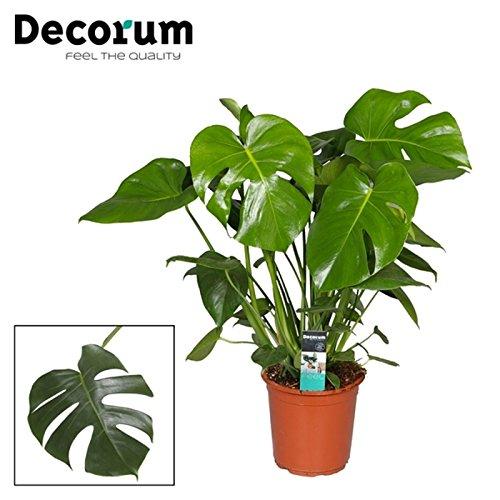 Inter Flower -Monstera delicosa,Köstliche Fensterblatt,70cm +/- , Zimmerpflanze