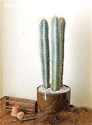 100 Pcs géant à long Cactus Graines Succulentes Universal Rootstock Mélangée Graine Cactus de haute qualité pour le jardin des plantes Bonsai Fresh Air 10
