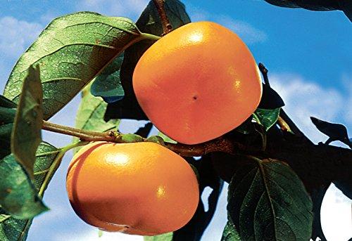 平成28年産 おけさ柿 Lサイズ(18玉入)JA佐渡 産地直送たねなし柿【ふる里の味をお届けします】