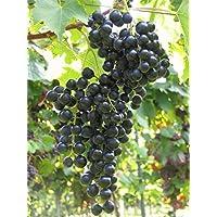 Vitis vinifera Ortega Muskat-Pfirsicharoma frühreifend Mehltaufest