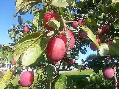 1x-4-5ft-victoria-plum-fruit-tree-4-year-old-specimen-5l-pot
