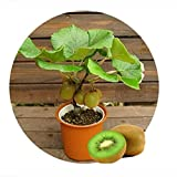 freies Schiff Thailand Mini-Kiwi 1seeds (40 Samen) Bonsaipflanzen, Köstliche Kiwi Kleine Obstbäume Seed