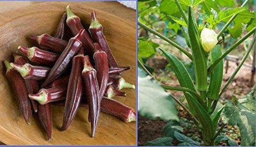 Graines Red Okra organiques, emballage d'origine, 12 graines / Pack, Fingers 'Abelmoschus Esculentus Ladies