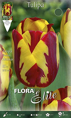 Triumph-Tulpe \'Helmar\' rot/gelb geflammt, Blumenzwiebeln für Herbstpflanzung