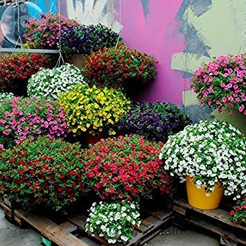 PlenTree Yoyoboo 2016 Nouvelle-Kabloom Calibrachoa-mixtes-Bonsai-Hanging-Petunia-Professional-pack-200-graines-blanc-rouge-rose-jaune-violet-mixte