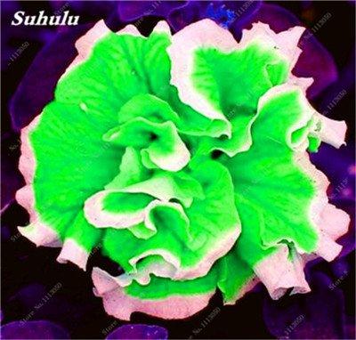 100 pcs / sac pétales de double Petunia Graines Bonsai Graines de fleurs Court Taille Jardin Fleurs Graines d'intérieur ou Ourdoor Pot 16 Plante