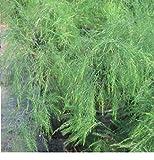 10x Asparagus virgatus Tiki Farn Besen Farn Garten Samen Pflanze Blüten Neu B730