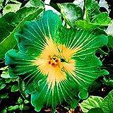 Eden-blumen 100 Stücke Riesen Hibiskus Pflanze Winterhart Samen Hibiskus Mehrjährige Blume Für Vorgarten/Steingarten (5)