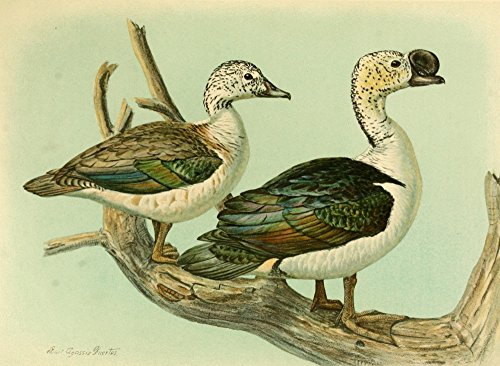 The Poster Corp L.A. Fuertes - Nat History of Ducks 1925 Knob-Billed Duck Kunstdruck (60,96 x 91,44 cm) -