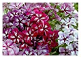 30x Flammenblume Summer Showers Mix - Phlox Samen Garten Blume Saatgut KS126