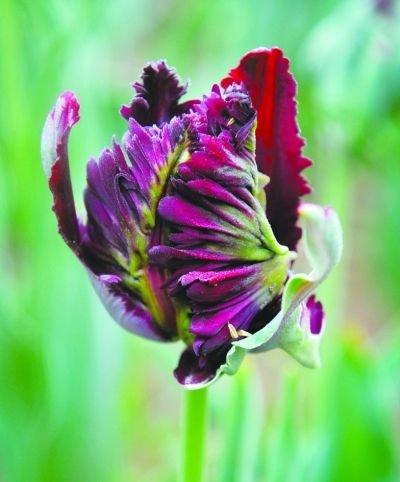 Toutes sortes de bulbes de tulipes belles fleurs de jardin sont appropriés pour les plantes en pot (il n'est pas une graine de tulipe) ampoules 2PC 5