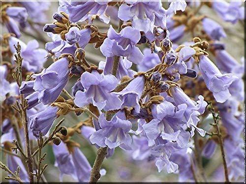 Shopvise Weltweit am schnellsten wachsender Baum * Royal Empress Tree Seeds * Princess Tree