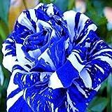 iDealhere(TM) 20 Dragon Rose Samen Blumensamen Pflanzen Blumme Seeds (Blau)