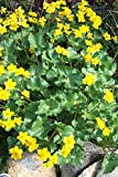 Caltha Palustris Marsh Marigold in England Journal: Take Notes, Write Down Memories in this 150 Page Lined Journal