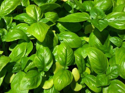 Basilikum Genovese Riese - 1000 Samen (Genovese Basilikum Samen)