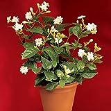 #8: MorningVale Mogra Flower Plant,NaturalPlant with Pot