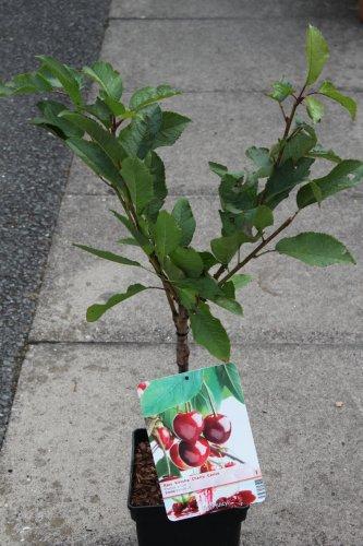 dwarf-patio-fruit-tree-cherry-variety-stella-approx-75cm-tall-