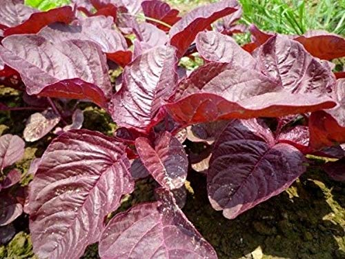 HATCHMATIC , Désert, Désert, Nicotiana obtusifolia, Organique,