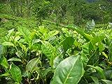 Asklepios-seeds - 20 Semi di Camellia sinensis, Camellia sinensis, la pianta del tè