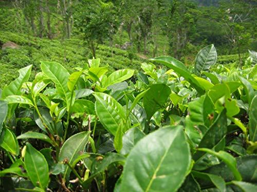 Asklepios-seeds - 20 Samen Camellia sinensis, Teestrauch, Grüner- / Schwarzer Tee