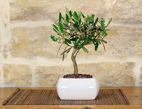 Bonsai von Olivenbaum in einer quadratischen weißen Vase, mit gewölbt Kanten.